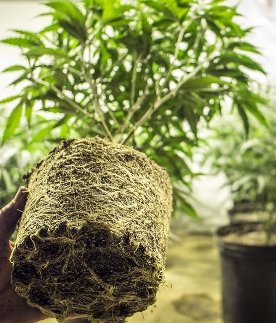 Guide to growing weed indoors for beginners