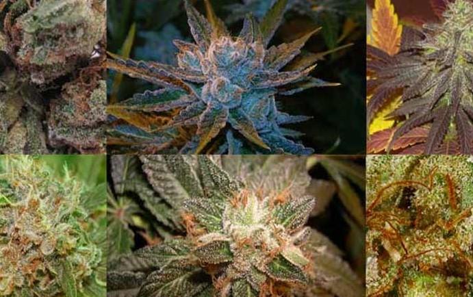 New strains 2021