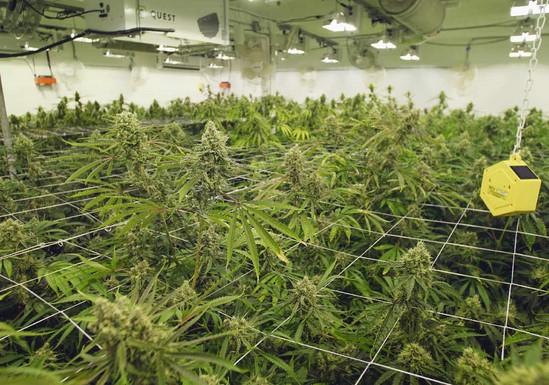 arizona marijuana license