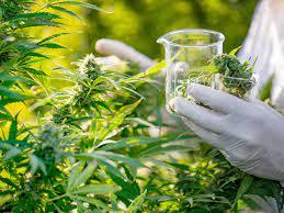 marijuana causes hallucinations