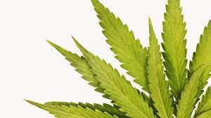 marijuana urine detox