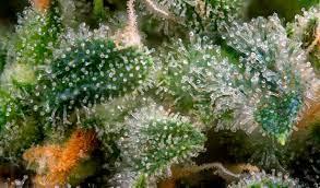 terpenes weed